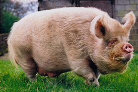 Middle White pig, breed standards