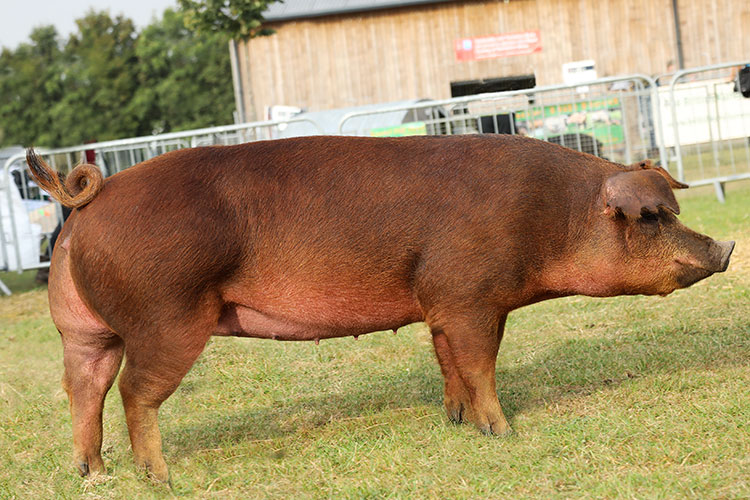 Duroc pig breed