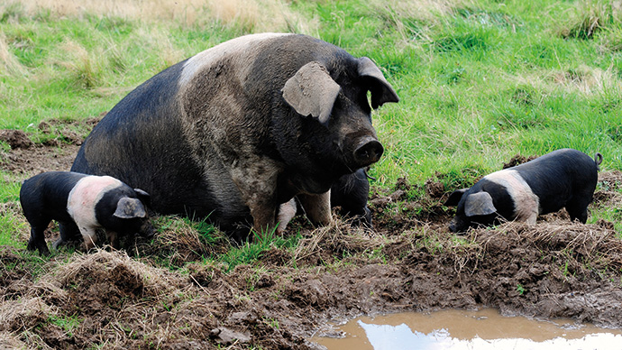 British Saddleback sow with piglets