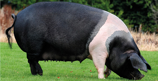 British Saddleback sow