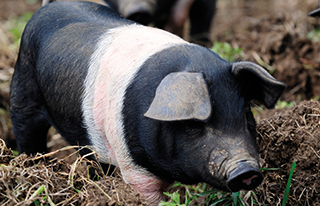 British Saddleback piglet