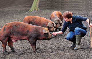 Duroc pigs with keeper