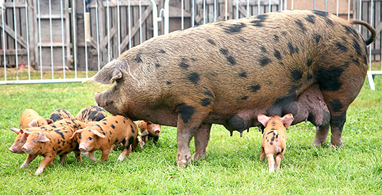 Oxford Sandy & Black sow and piglets