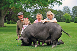 Berkshire pedigree pig