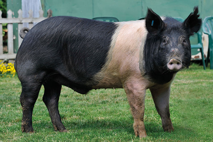 Hampshire pig breed