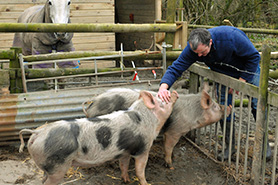 Pietrain pig, me and my pigs