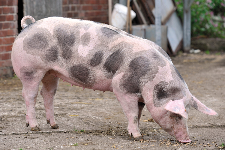 Pietrain pig breed