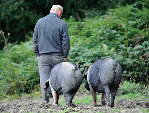 British Saddleback pigs