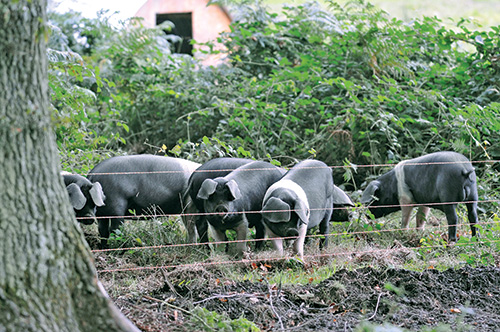 British Saddleback pigs in a field