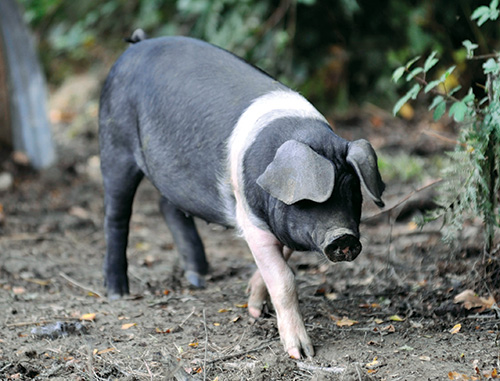 British Saddleback pig