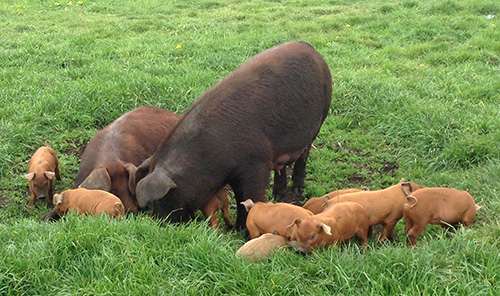 Duroc pigs and piglets