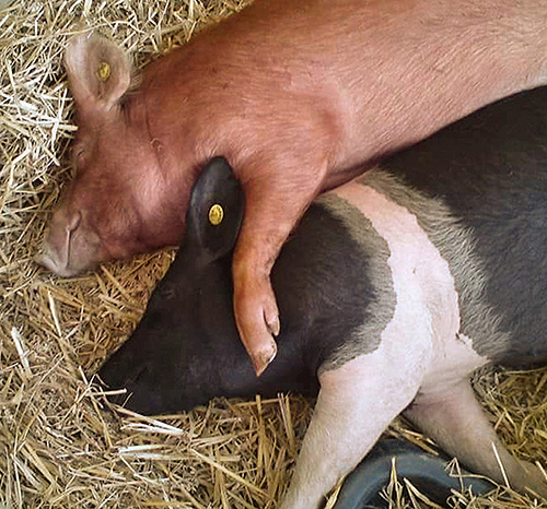 Hampshire pig and friend sleeping
