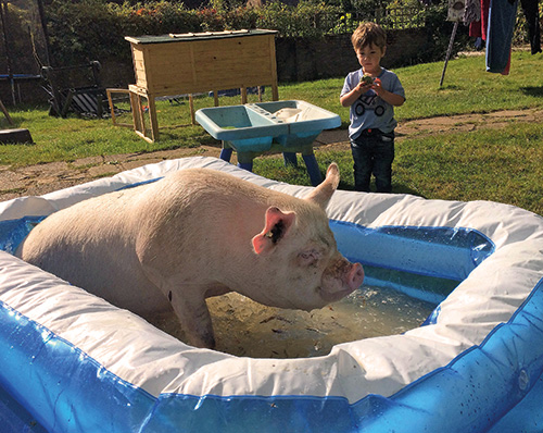 Middle White pig in paddling pool