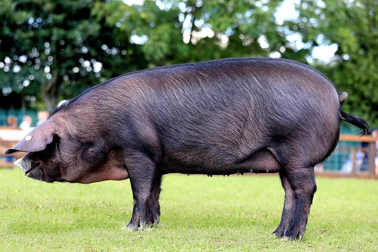 Large black pedigree pig