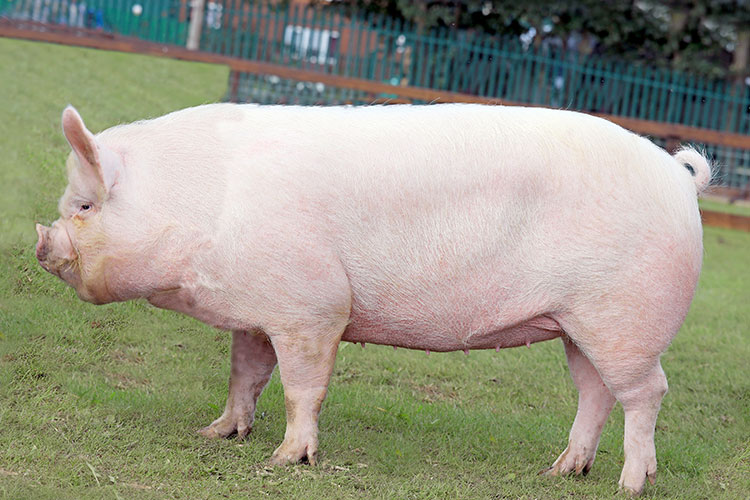 Middle White pedigree pig