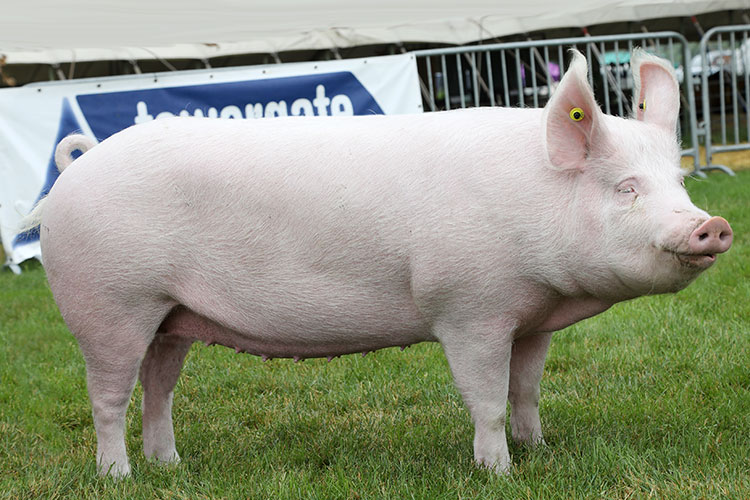 LARGE-WHITE-Emmerson-Gilt-Greenhill-Champion-Lady-47a-b.07.jpg